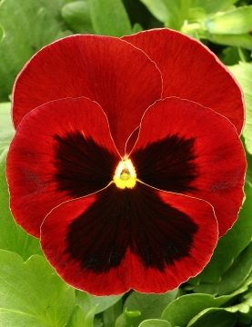 Viola Red Blotch