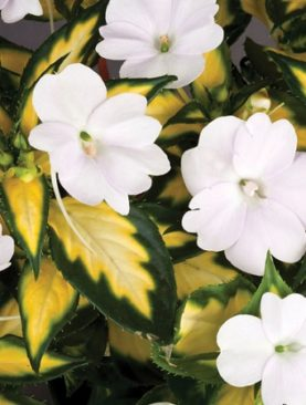 Sunpatiens Variegated White