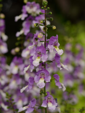 Angelonia Blue Bicolor Archangel