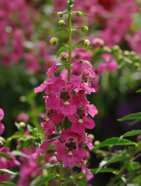 Angelonia Raspberry Archangel