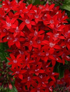 Pentas Dark Red Lucky Star