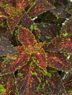 Coleus Michigan Ave
