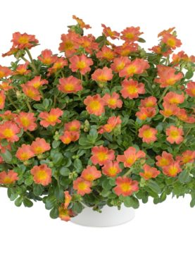Pazzaz Nano Series Orange Purslane