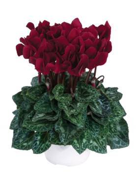 Burgandy Cyclamen