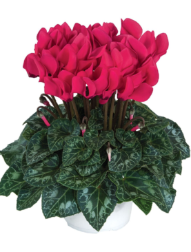 Deep Rose Cyclamen