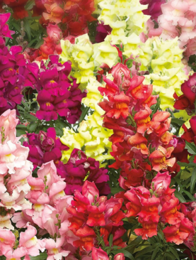 Snapdragon Snaptastic Mix