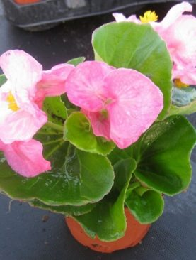 Top Hat Pink Begonia