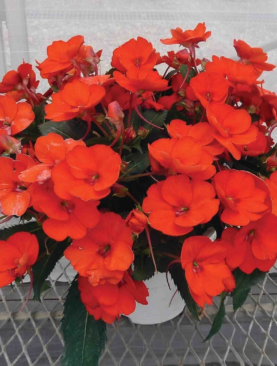 Sunpatiens Clear Orange
