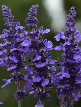 Salvia Mysty Blue