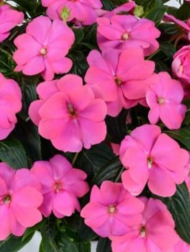 New Guinea Impatiens Perfect Pink