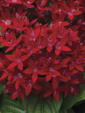 Penta Bee Bright Red