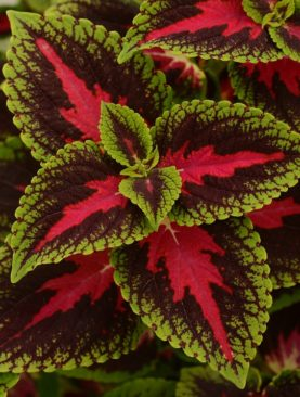 Coleus French Quarter