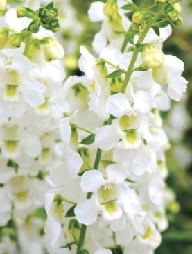Angelonia White Archangel