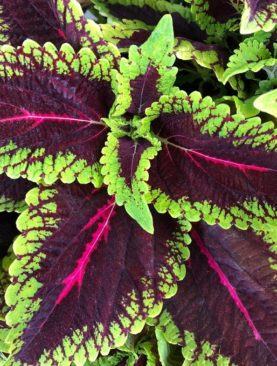 Coleus Alligator Alley