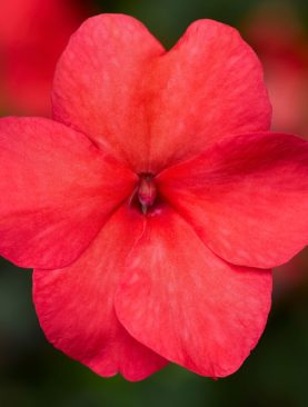 Impatiens Imara Salmon Shades