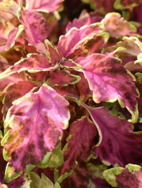 Coleus Ruby Punch