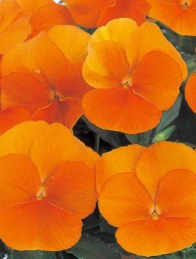 Viola Clear Orange