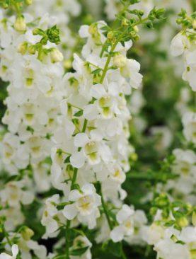 Angelonia White Serenita Series