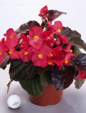 Begonia BIG Series Red Bronze Leaf
