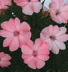 Sunpatiens Candy Pink