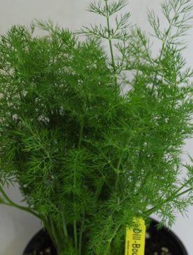 Herbs Dill Bouquet