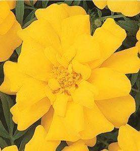 Marigold Durango Yellow