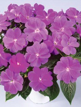 New Guinea Impatiens Lavender