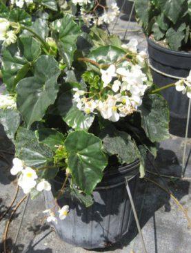 Begonia 'Alba' Odorata