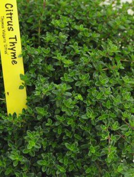 Herbs Thyme Citrus