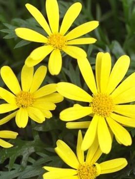 Bush Yellow Daisies