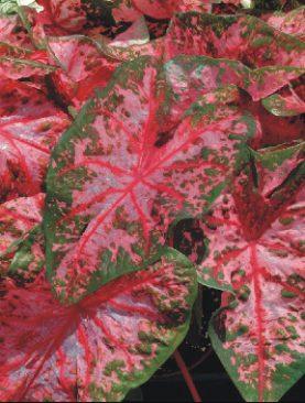 Caladiums Carolyn Whorton (Fancy Leaf)