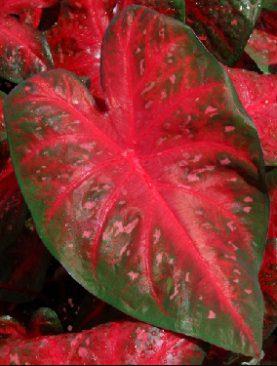 Caladium Red Flash (Fancy Leaf)