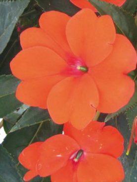 Sunpatiens Orange