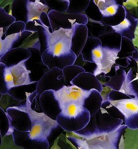 Torenia Deep Blue Kauai