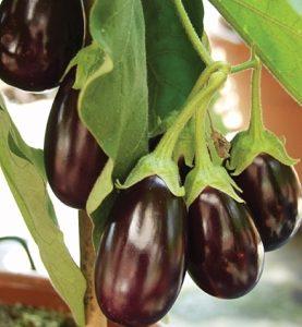 Eggplant Diva