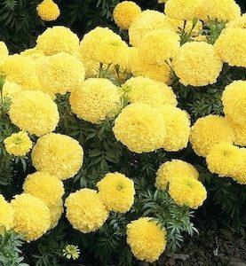 Marigold Inca II Yellow