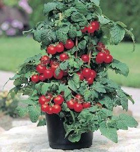 Tomato Patio