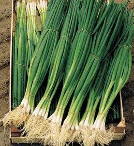 Onion Bunching