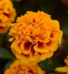 Marigold Hotpak Flame