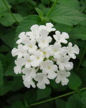 Lantana Trailing White