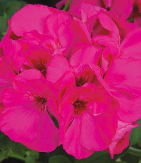 Geranium Calliope Lavender Rose