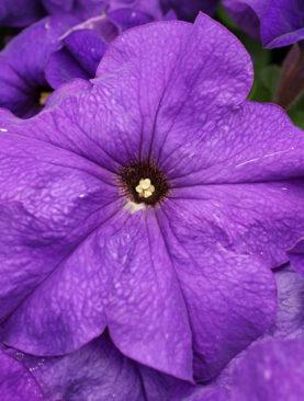 Petunia Limbo Blue