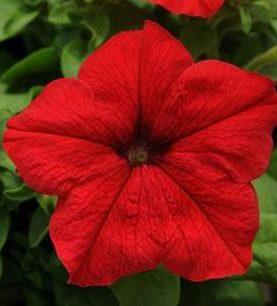 Petunia Pretty Grand Red