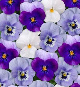 Viola Winter Mix