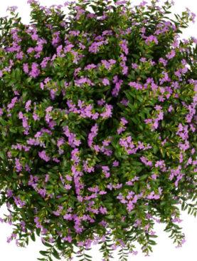 Cuphea FloriGlory Sofia