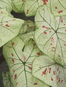 Caladiums Strawberry Star (Fancy Leaf)
