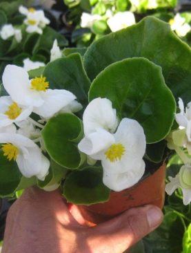 Top Hat White Begonia