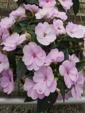 Sunpatiens Orchid Blush
