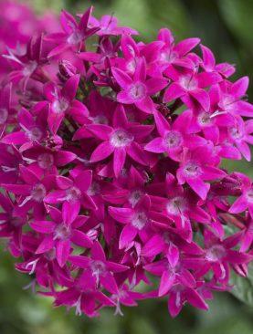 Penta Bee Bright Violet