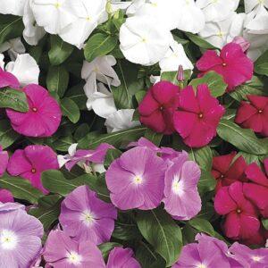 Vinca (Catharanthus roseus)